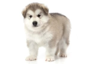 Alaska-malamute puppies