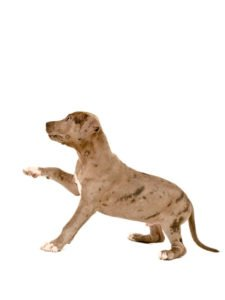 Amerikaanse pitbull terriër puppies