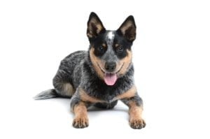 Australische Cattle Dog puppies