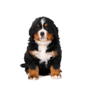 Berner Sennen puppies