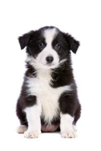 Border collie chiots