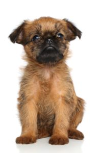 Brusselse Griffon puppies