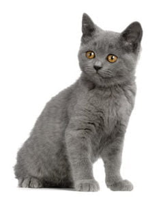 Chartreux chatons
