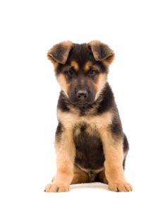 Berger allemand chiots