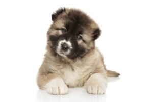 Caucasian Shepherd puppies