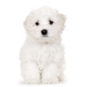 Maltezer puppies