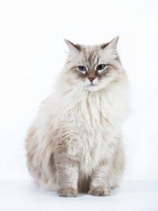 Siberische boskat kittens